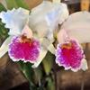 orquidea100